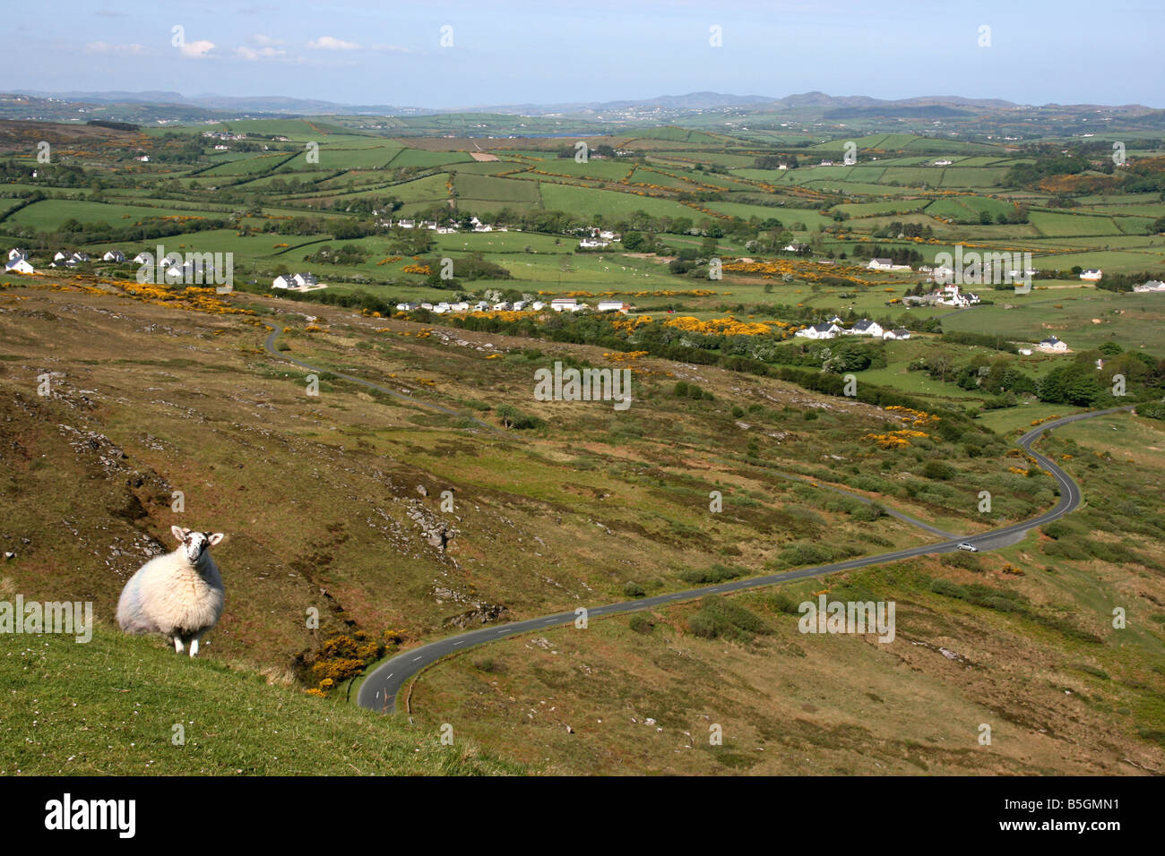 lone sheep standing on the steep side of Knockalla Mountains in County Donegal, Ireland - Stock Image