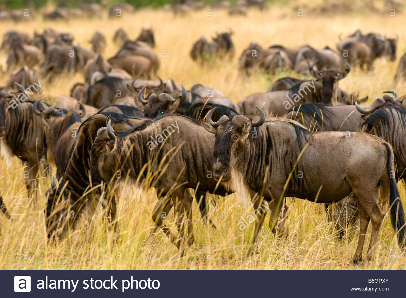 Herds of wildebeest arriving in Masai Mara National Reserve Kenya from Tanzania as part of the annual Great Migration Stock Photo