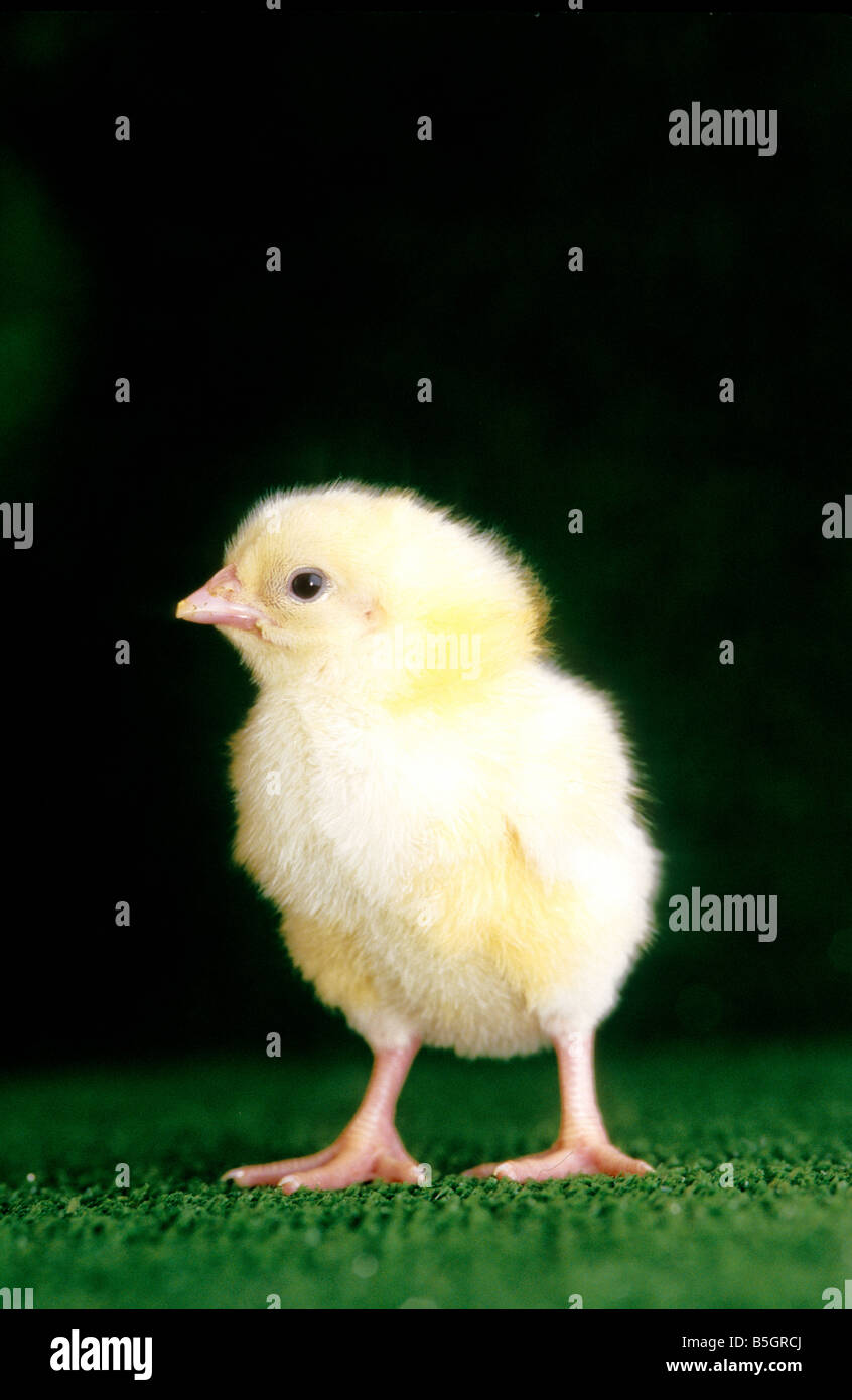Baby Chick  '24 hrs.'  old standing on turf. - Stock Image