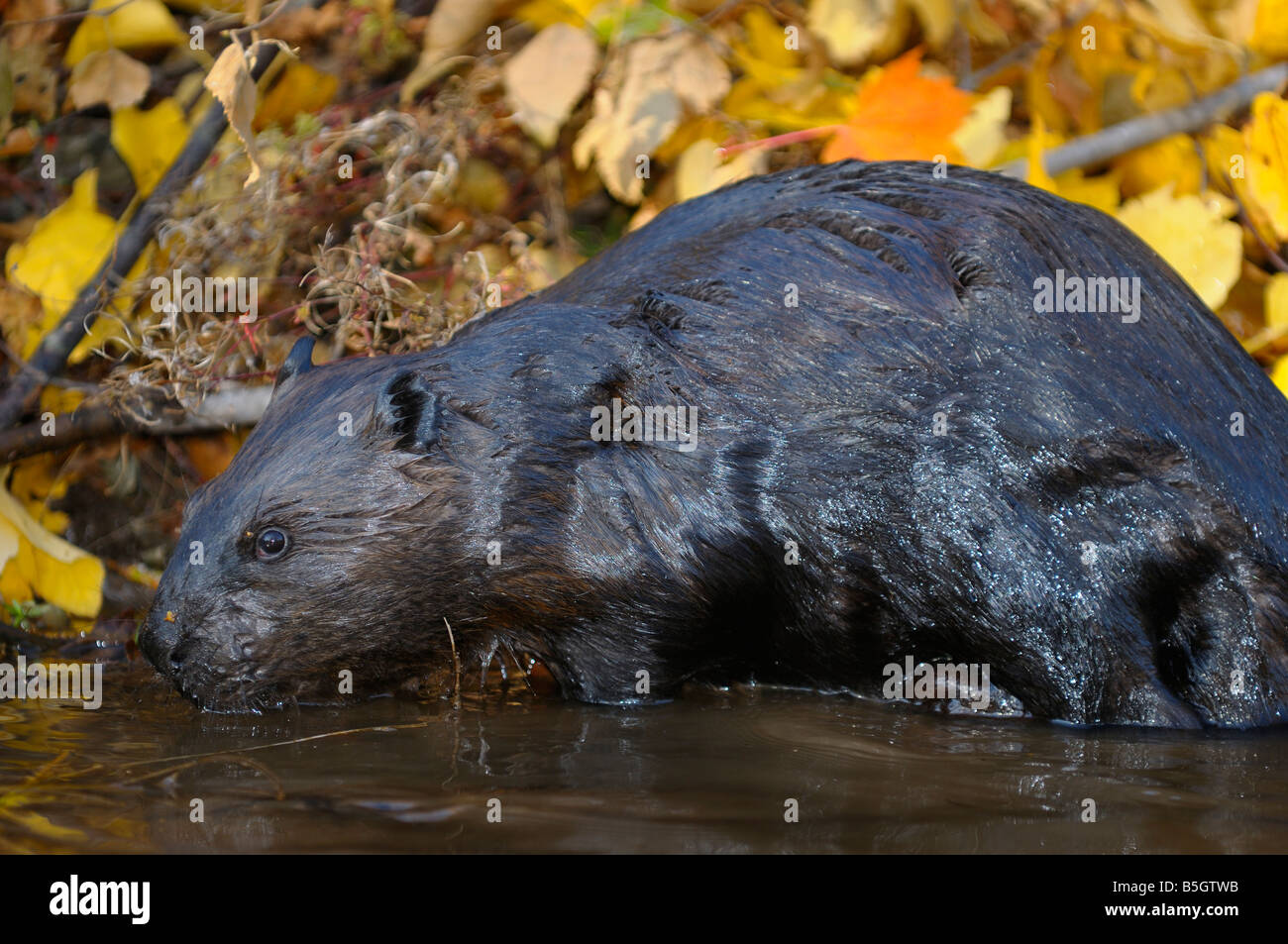Wet Canadian Beaver standing at the edge of a stream with Fall color leaves Castor Canadensis Minnesota USA - Stock Image