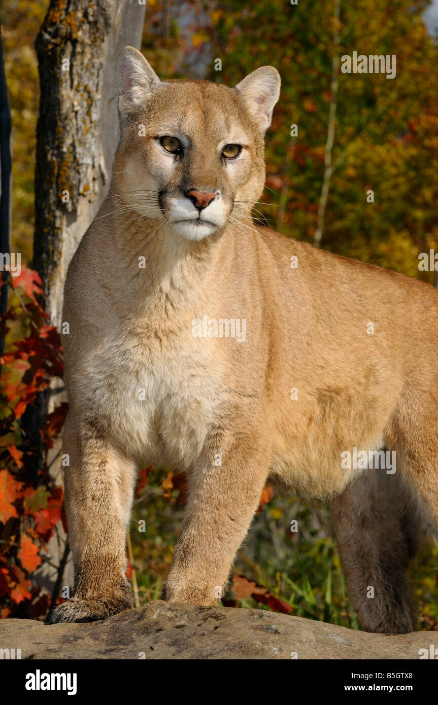 Mountain Lion Standing On Top Of A Rock In An Autumn