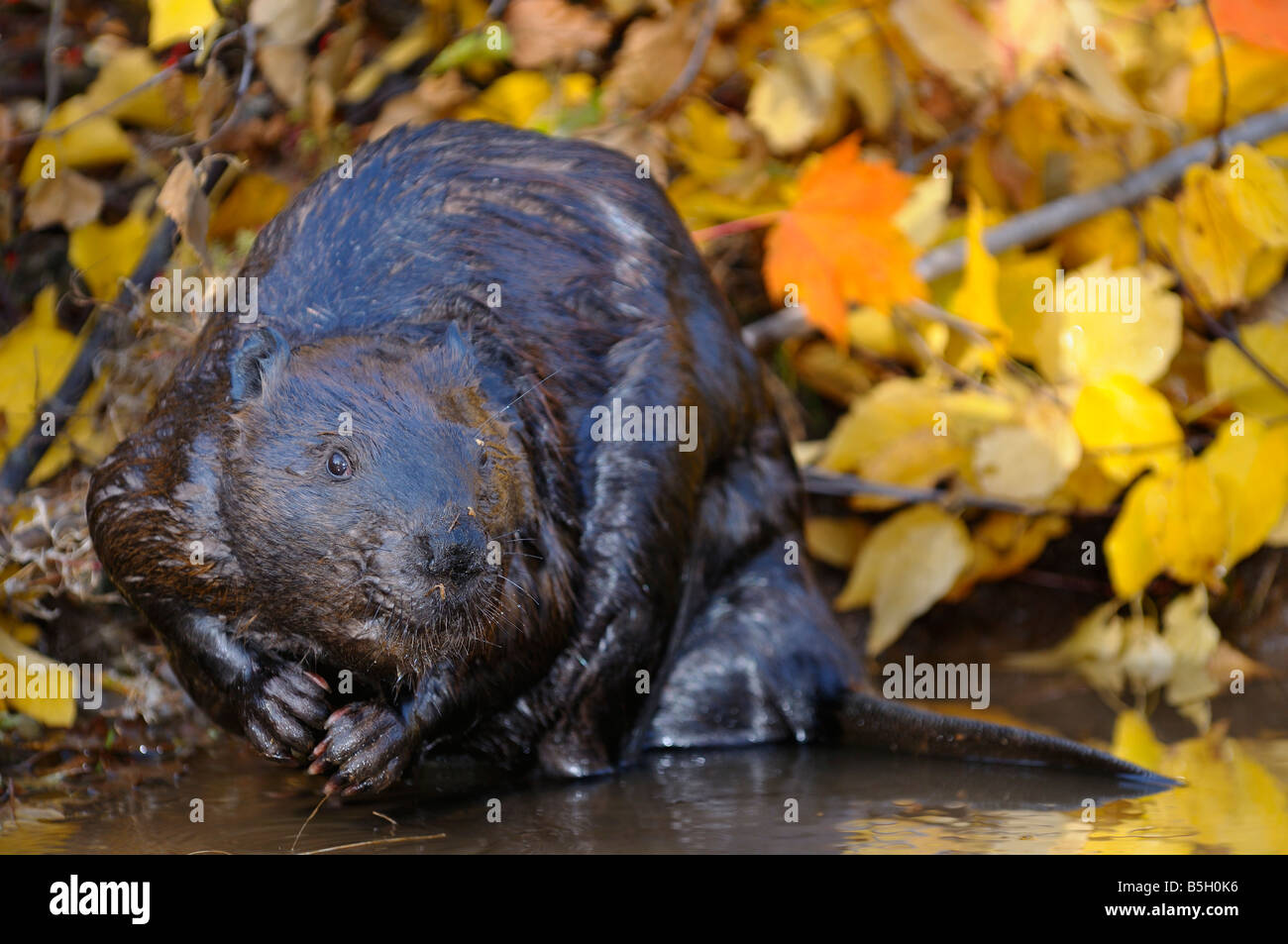 Wet Canadian Beaver digging at the edge of a stream with Fall color birch and maple leaves - Stock Image