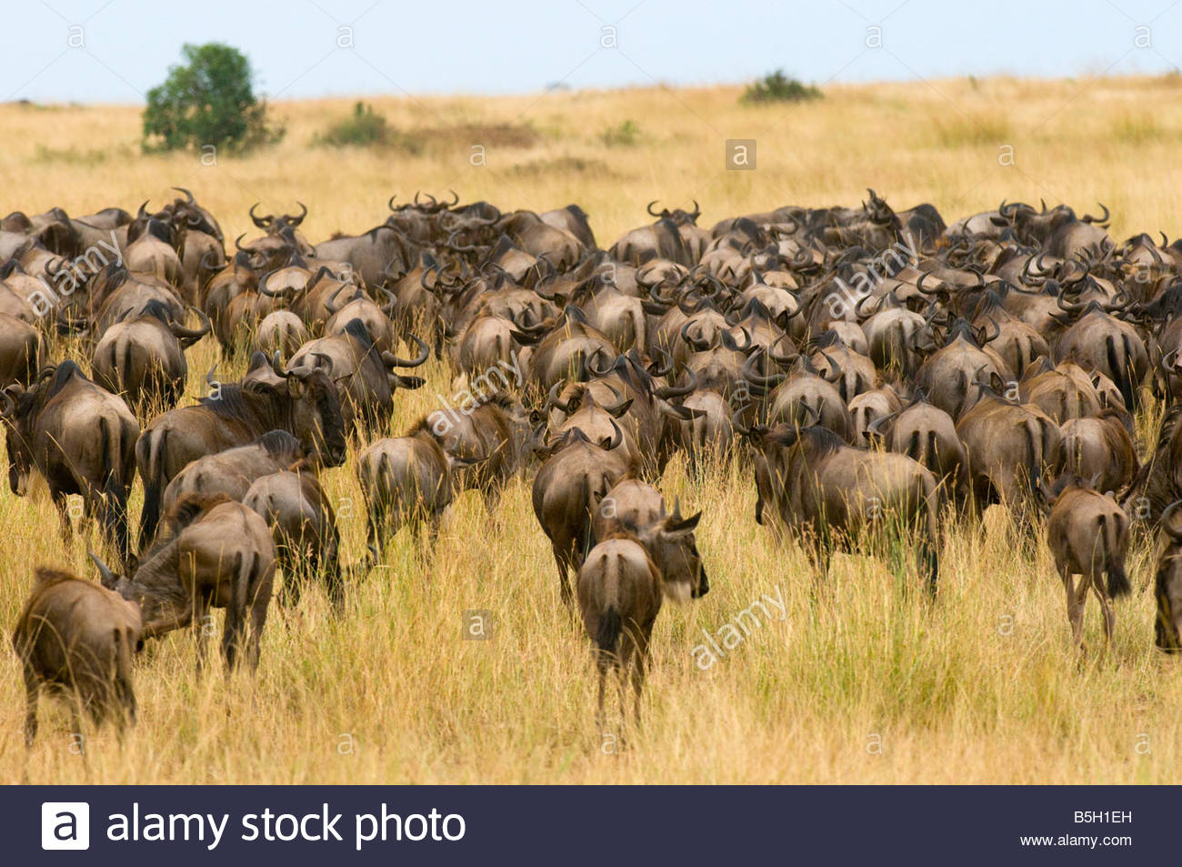 Herds of wildebeest arriving in Masai Mara National Reserve Kenya from Tanzania as part of the annual Great Migration - Stock Image