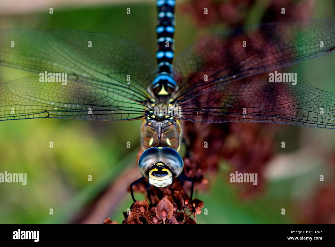 A male Migrant Hawker Dragonfly at North Cave Wetlands nature reserve, East Yorkshire, England. - Stock Image