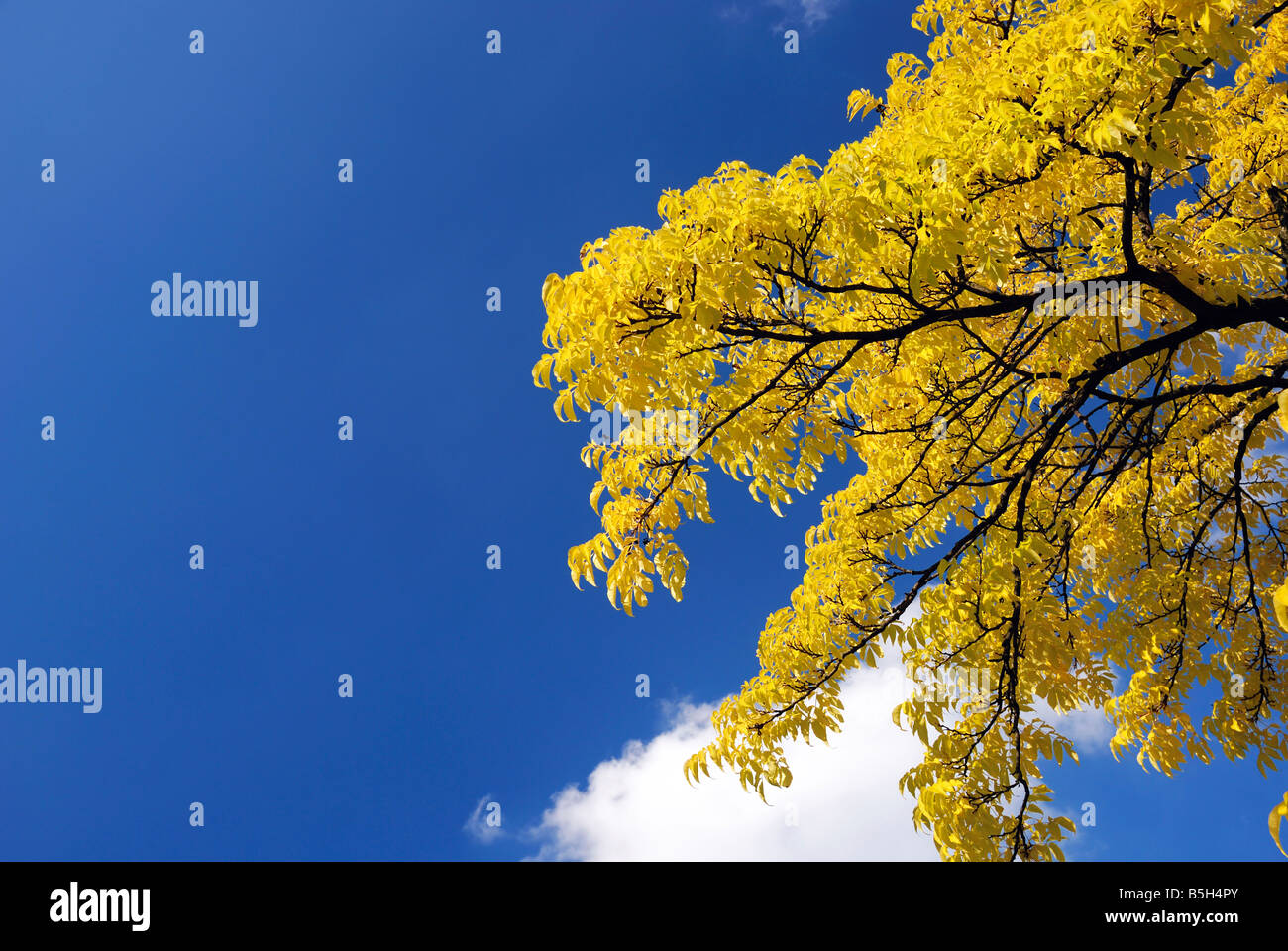 Yellow crown of autumn tree and blue sky, single white cloud hiding behind black branches with bright leaves - Stock Image