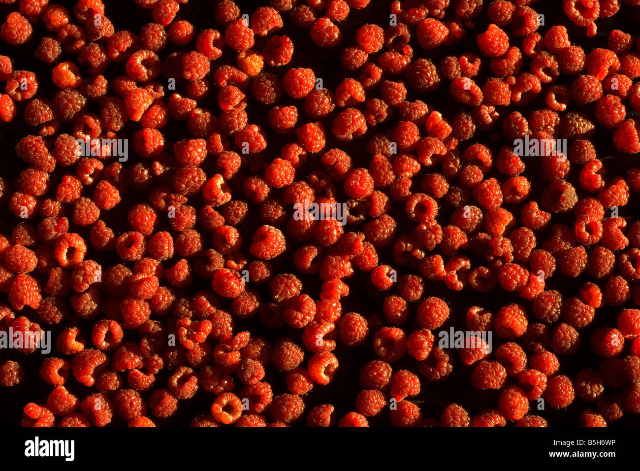Raspberries, grouping, agriculture, hand-picked, forage, red berry, berries - Stock Image