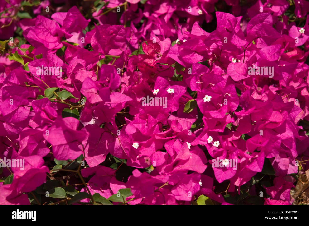 Dh Bougainvillea Lanzarote Purple Flowering Bougainvillea Bush Stock