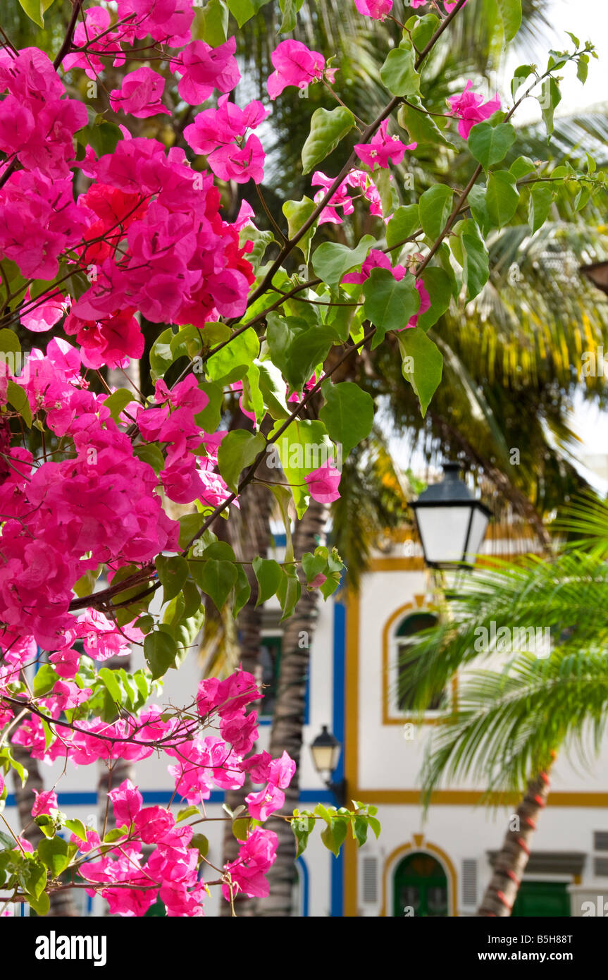 Close up on abundant Bougainvillea flowers in luxury resort of Puerto de Mogan in Gran Canaria Canary Islands Spain - Stock Image