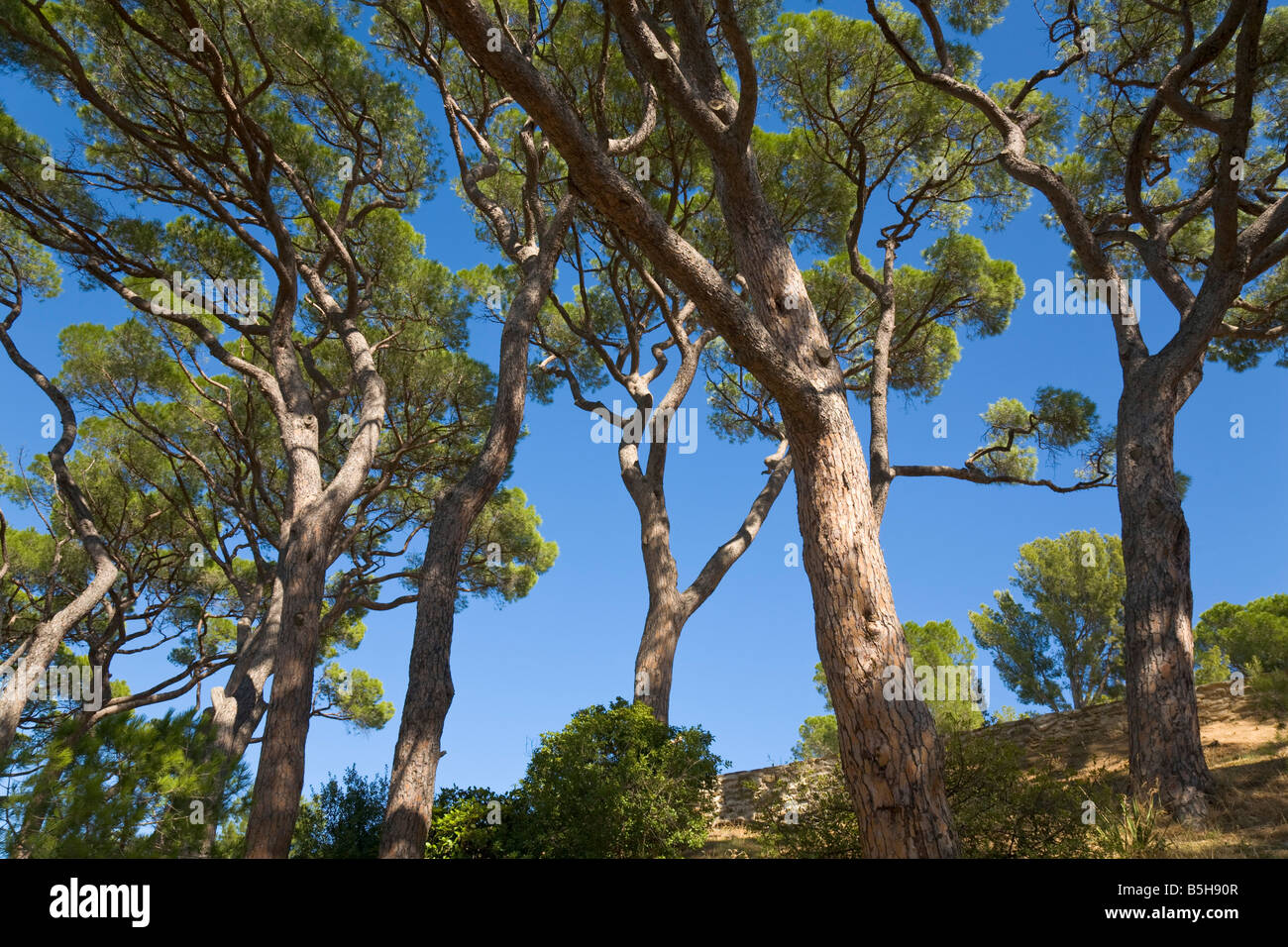 Stone pines and blue sky at the Cote d'Azur / Provence / Southern France - Stock Image