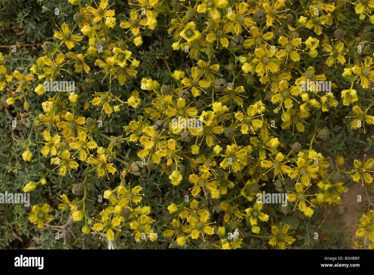 A dwarf Rue Ruta chalepensis ssp fumariifolia also known as Ruta fumariifolia in East Crete Aegean endemic - Stock Image
