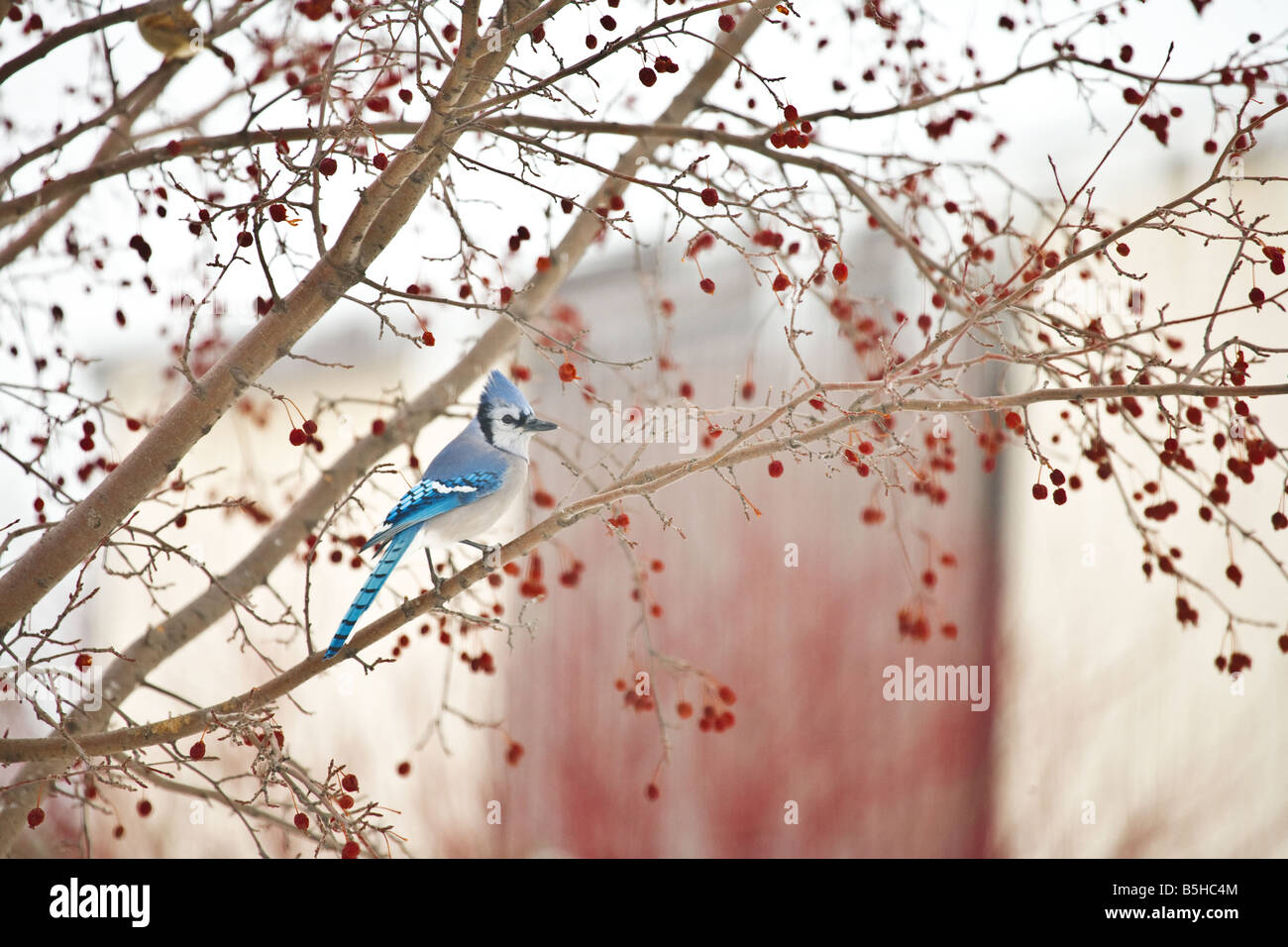 A blue jay in a crab apple tree. Stock Photo