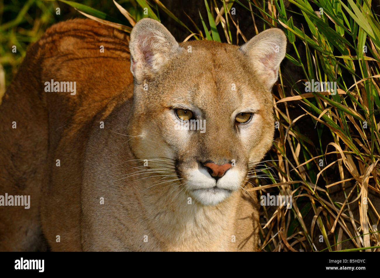 Close up of a Mountain Lion stalking prey in tall grass - Stock Image