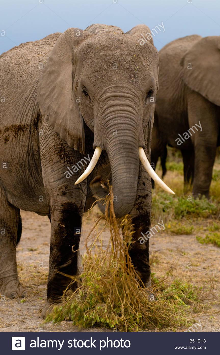 A herd of African elephants eating Amboseli National Park Kenya - Stock Image