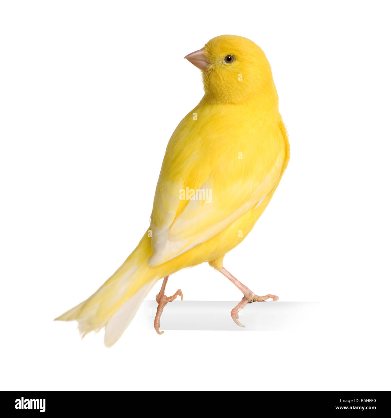 Yellow canary Serinus canaria on its perch in front of a white background - Stock Image