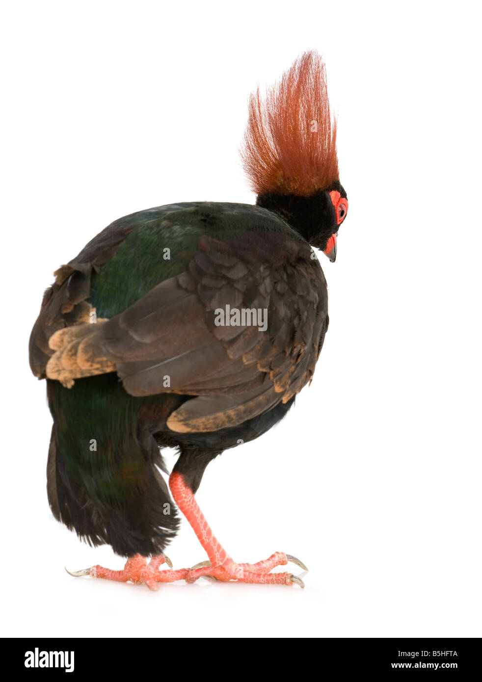 Crested Wood Partridge in front of a white background - Stock Image