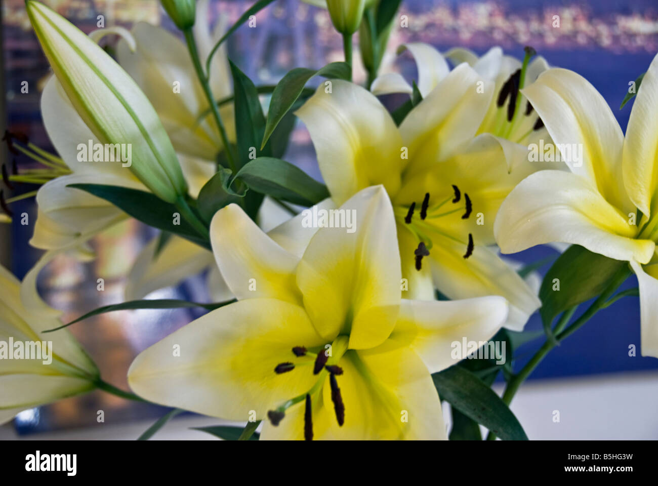 lily, Liliaceae, plant  classified in the division Magnoliophyta, class Liliopsida, order Liliales, family Liliaceae Stock Photo