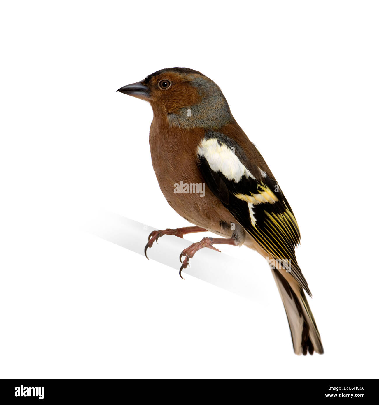 Chaffinch Fringilla coelebs on its perch in front of a white background - Stock Image