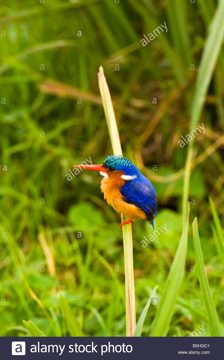 Malachite Kingfisher bird Amboseli National Park Kenya - Stock Image