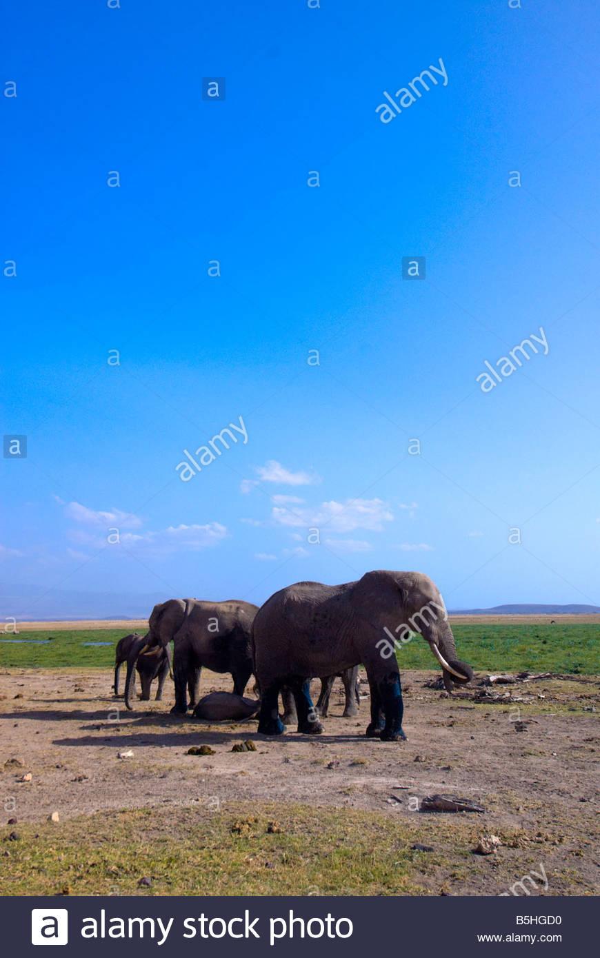 A herd of African elephants Amboseli National Park Kenya - Stock Image