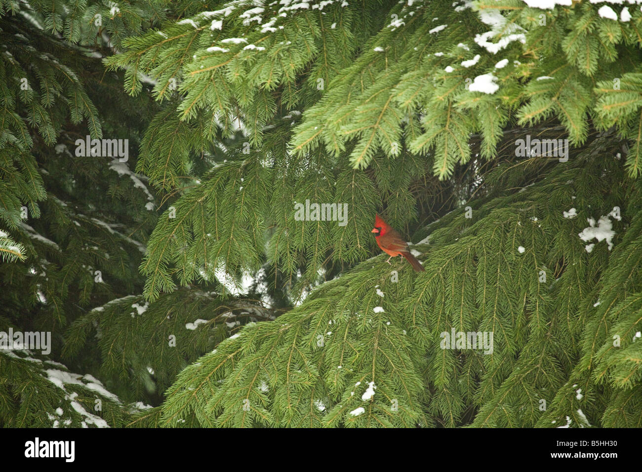 A cardinal sitting on a branch of a pine tree. - Stock Image