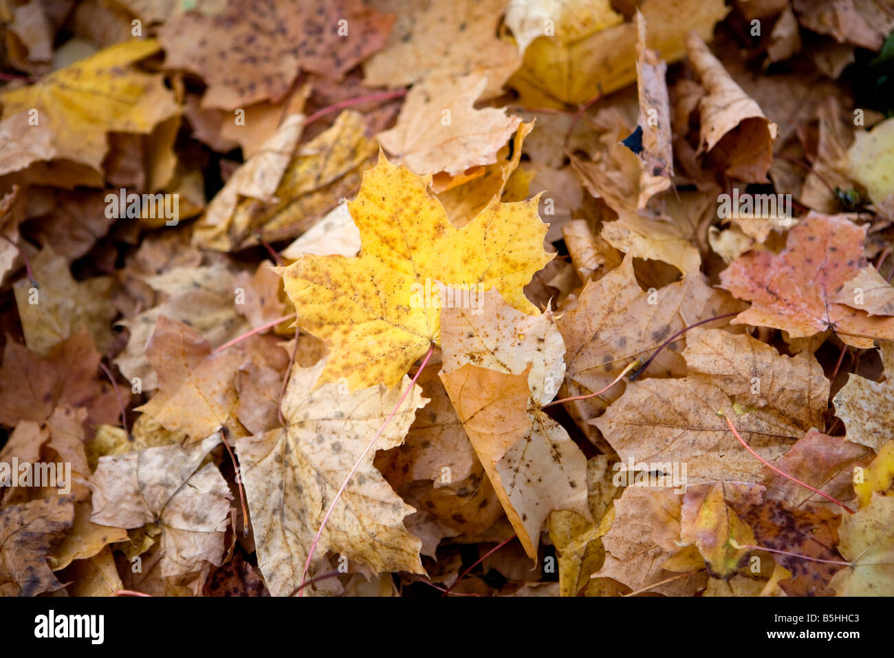 Herbstlaub am Boden, autumn leaves Stock Photo