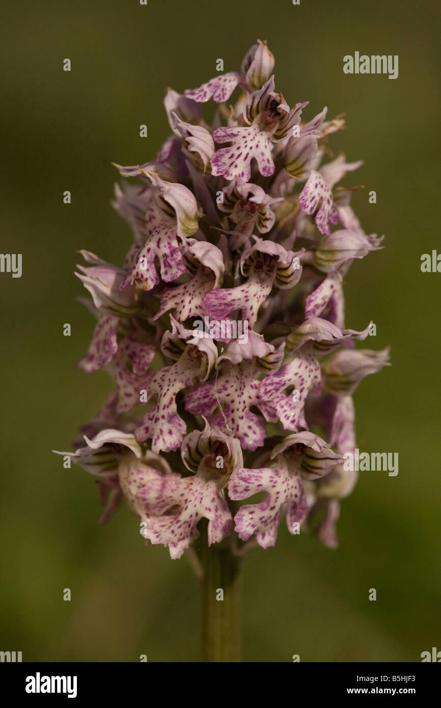 Milky orchid Orchis lactea Crete - Stock Image