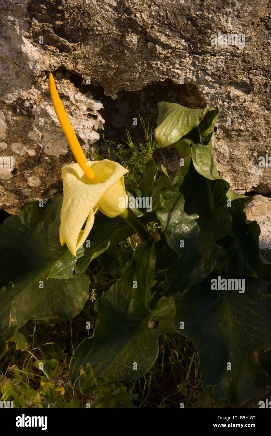 Cretan Arum Arum creticum east Crete - Stock Image