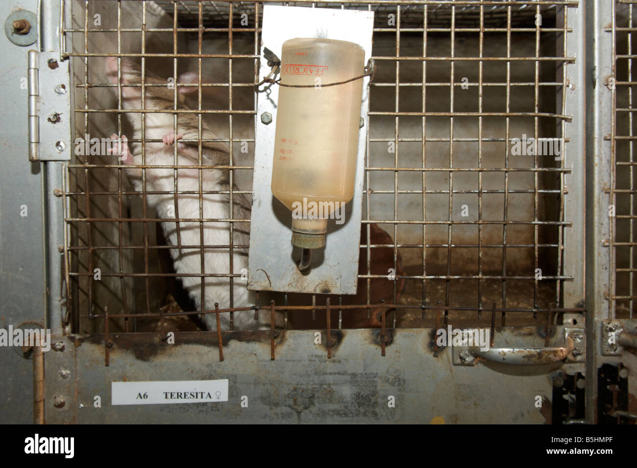 Rat in its cage at the APOPO offices on the campus of the University of Sokoine in Morogoro, Tanzania. - Stock Image