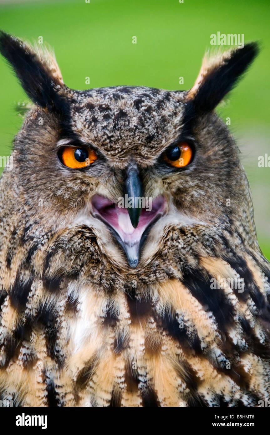Head of a Eurasian Eagle Owl , Latin Name Bubo Bubo - Stock Image