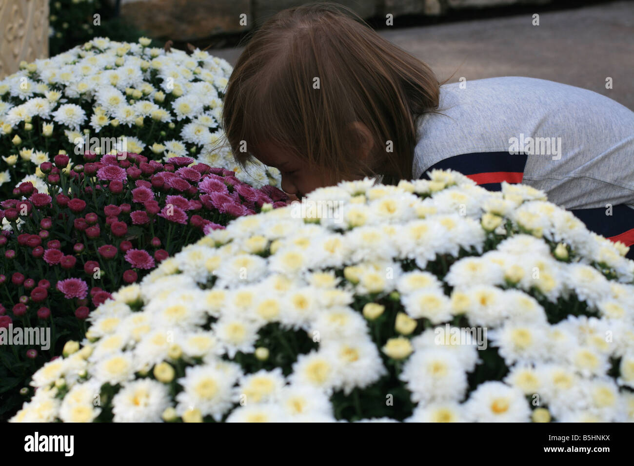 A 2-year-old toddler girl bends over to smell some mums. - Stock Image