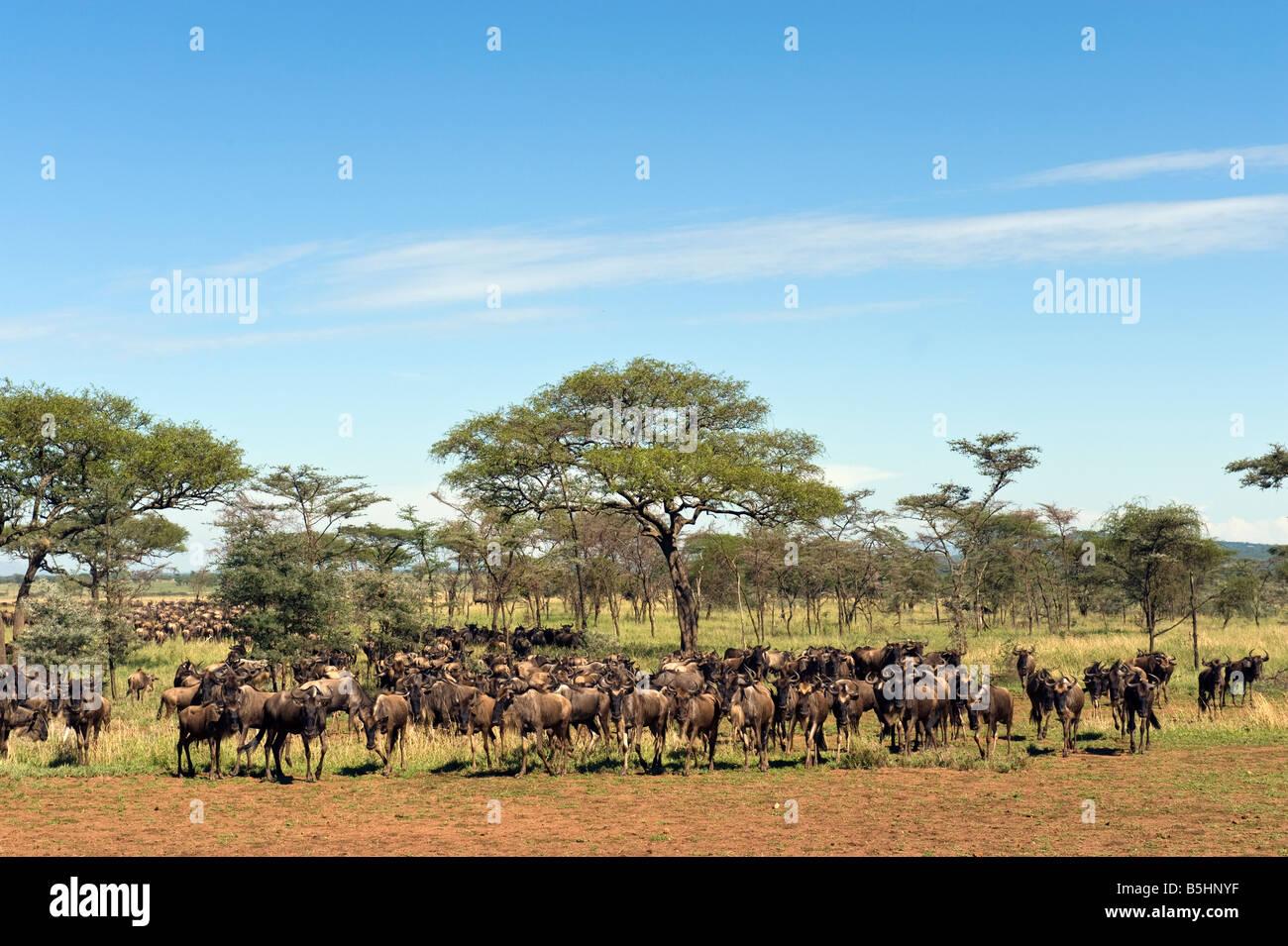 Wildebeest migration (Connochaetes taurinus) on the Musabi plain in Serengeti Tanzania - Stock Image