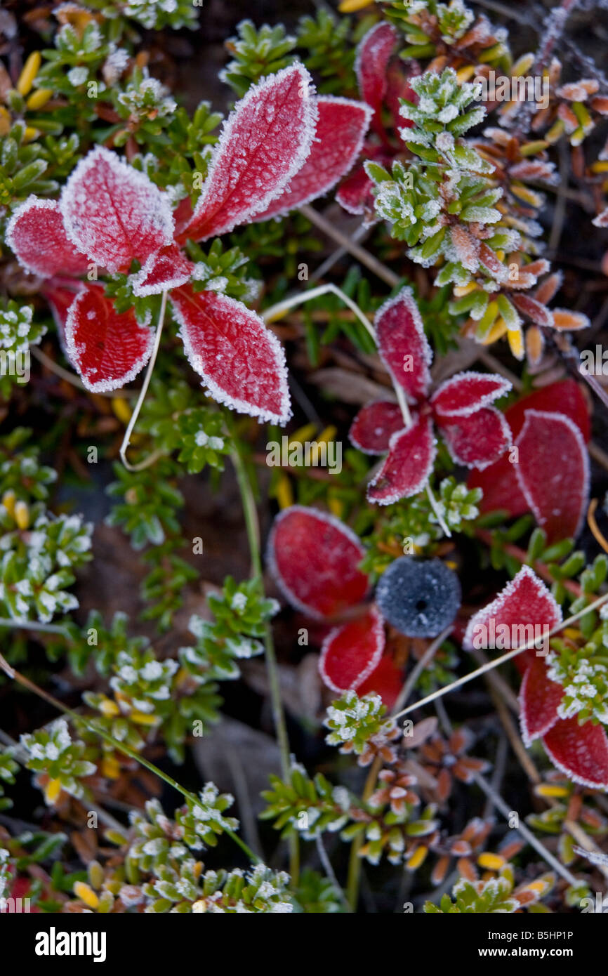 Frost on wild plants in Lappland Sweden - Stock Image
