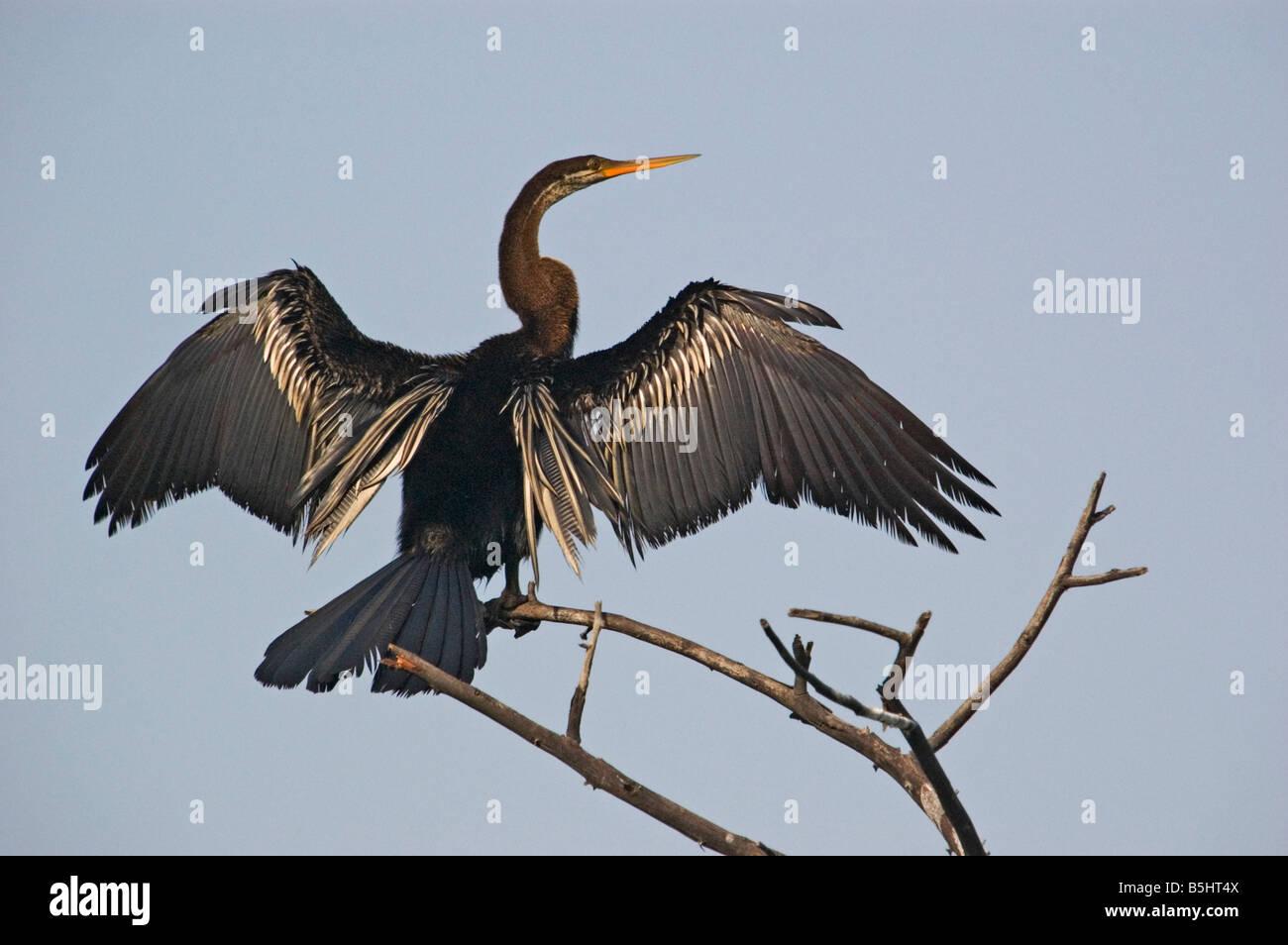 Oriental Darter or Indian Darter (Anhinga melanogaster) drying wings - Stock Image