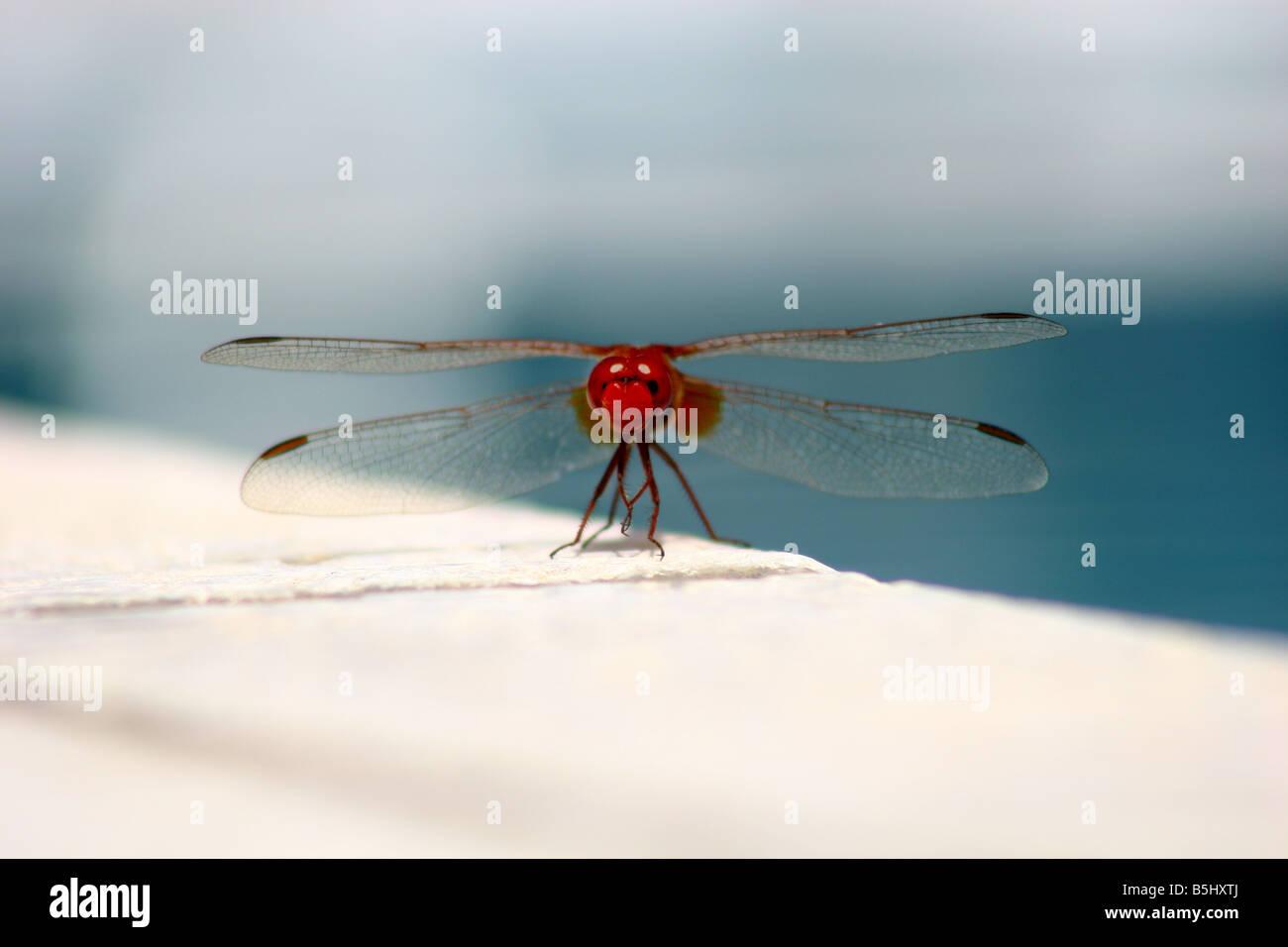Scarlet dragonfly male Crocothemis erythraea Stock Photo