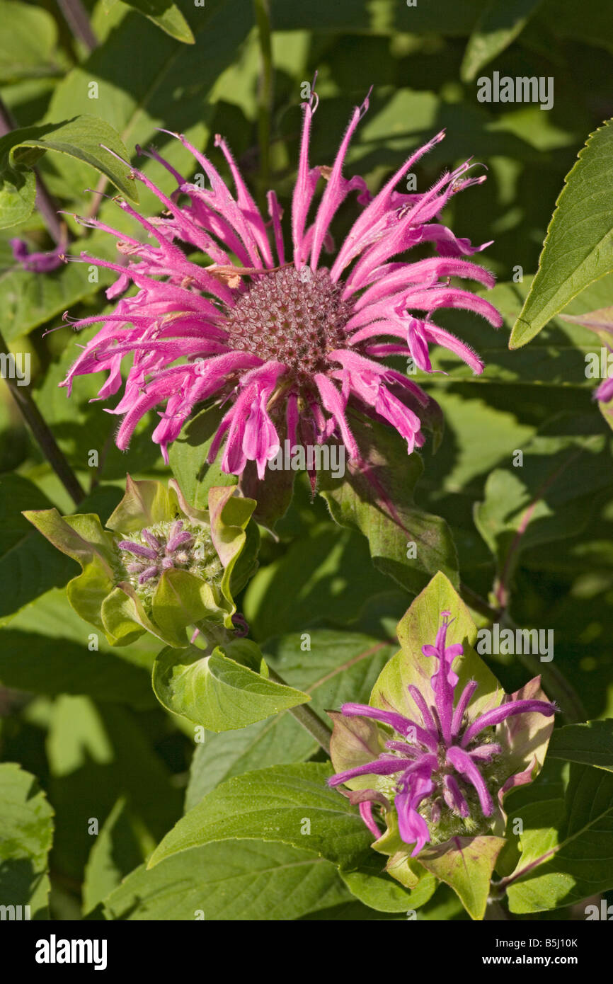 Bee balm or bergamot Monarda didyma Widely used garden plant particularly good for attracting bees From North America Stock Photo