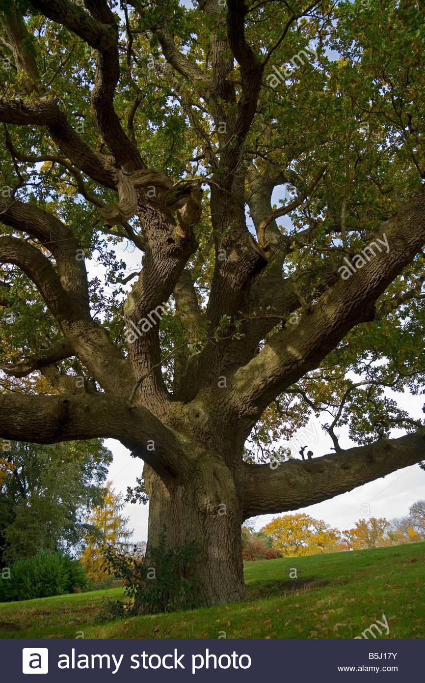 Hampshire England Autum Mighty Oak Tree Stock Photo