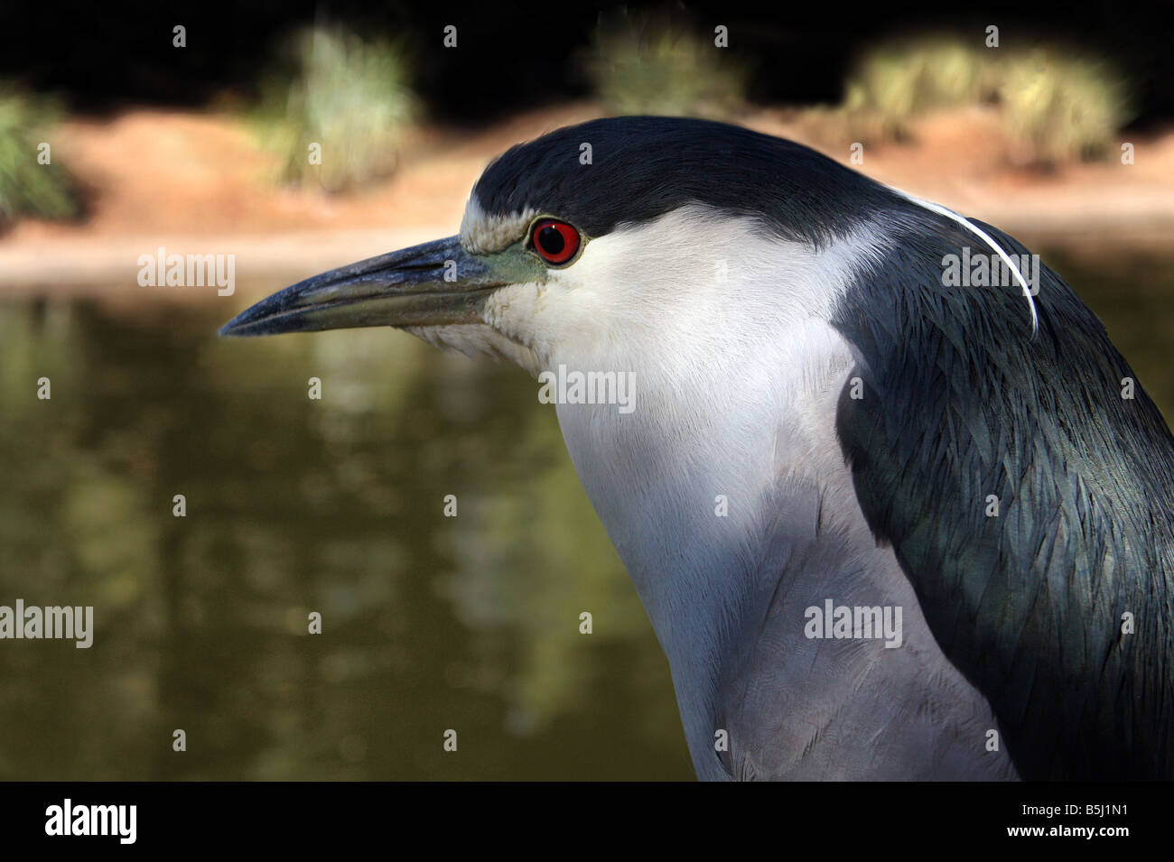 USA This Black Crown Night Heron was captured by the pond - Stock Image