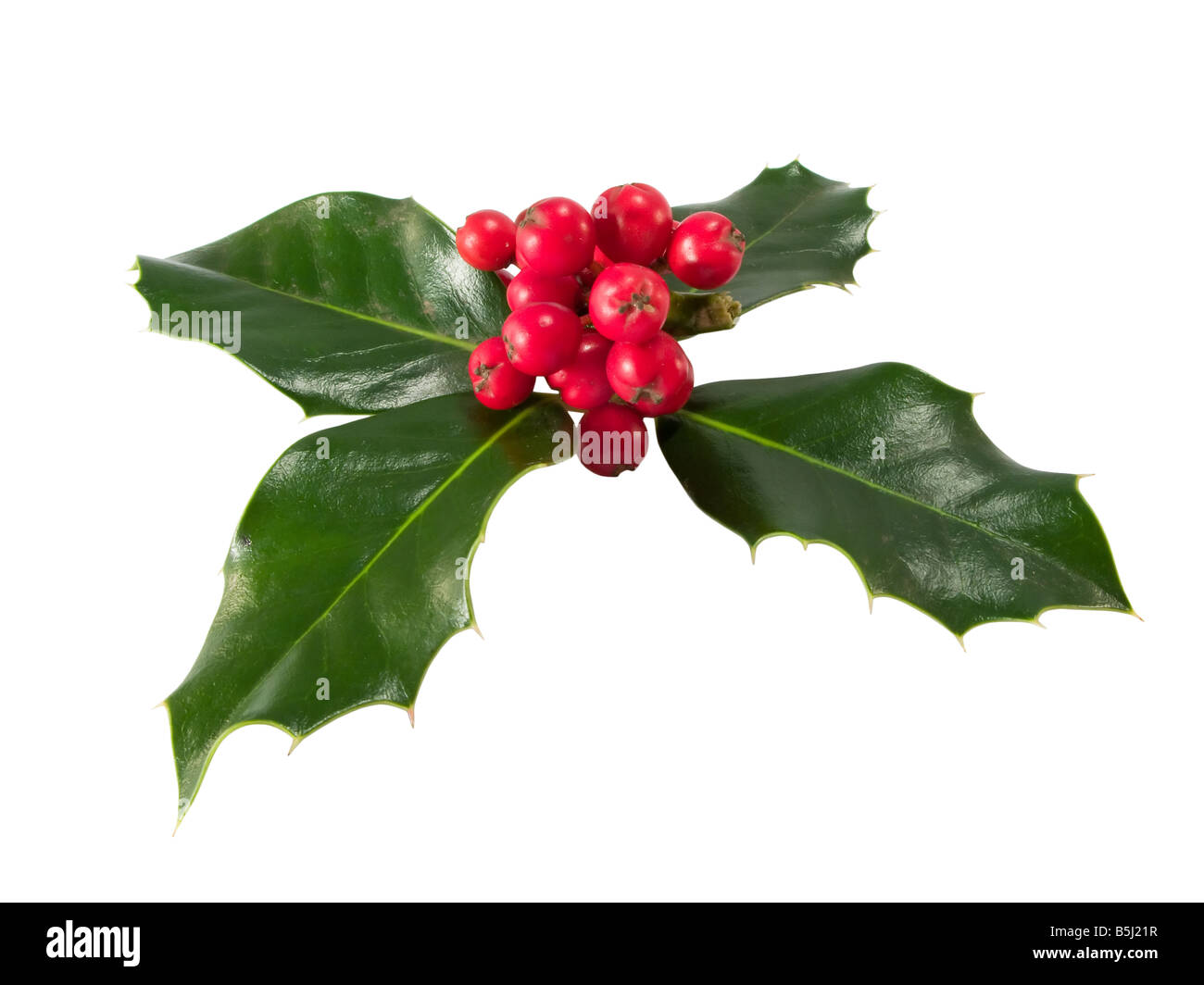 Holly Berry isolated on a white background - Stock Image