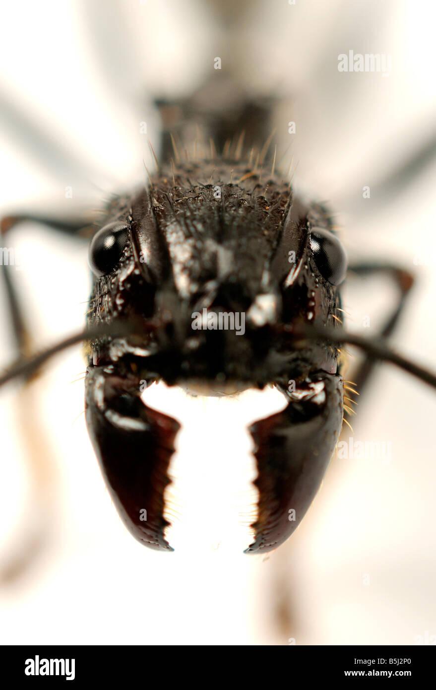 Isula or Bullet Ant Paraponera clavata ant Stock Photo