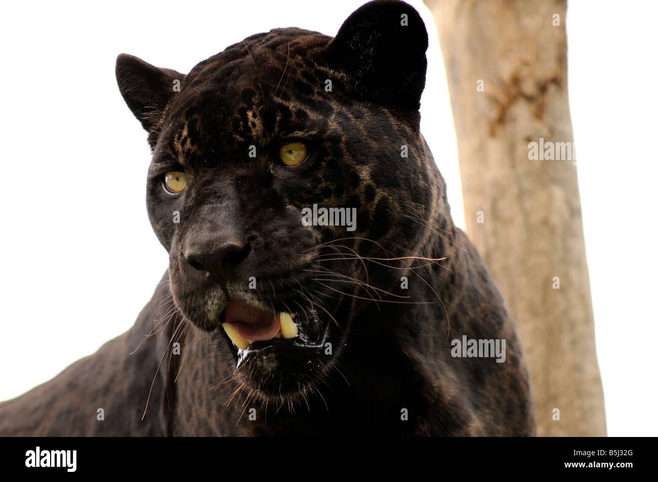 Black jaguar - Stock Image