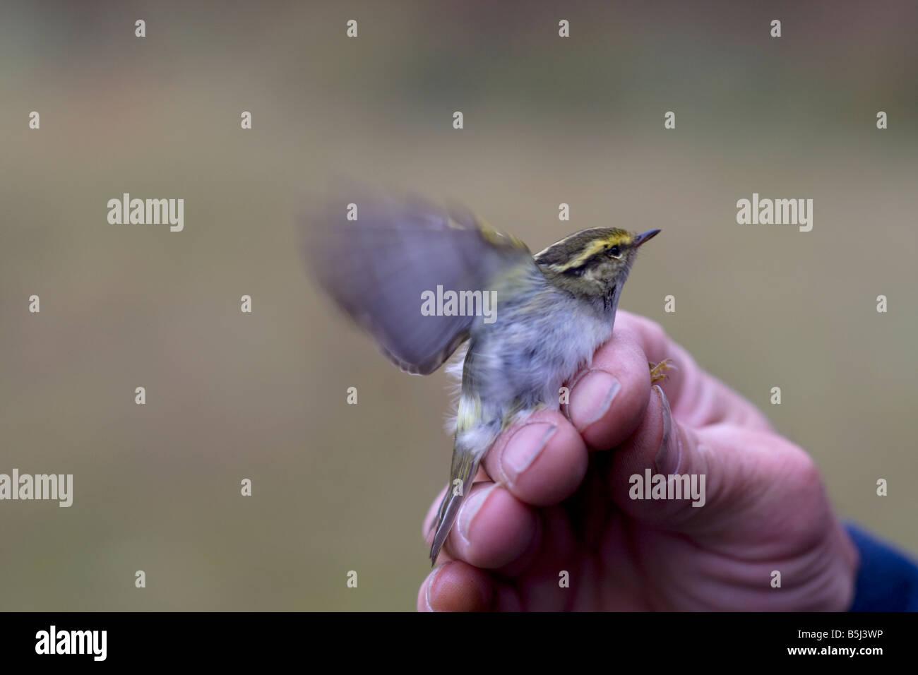 Pallas's Warbler Phylloscopus proregulus in the hand Stock Photo