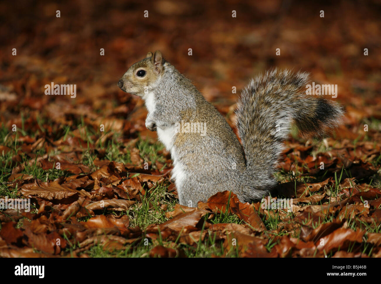 Grey Squirrel (sciurus carolinensis) foraging in the autumn leaves - Stock Image