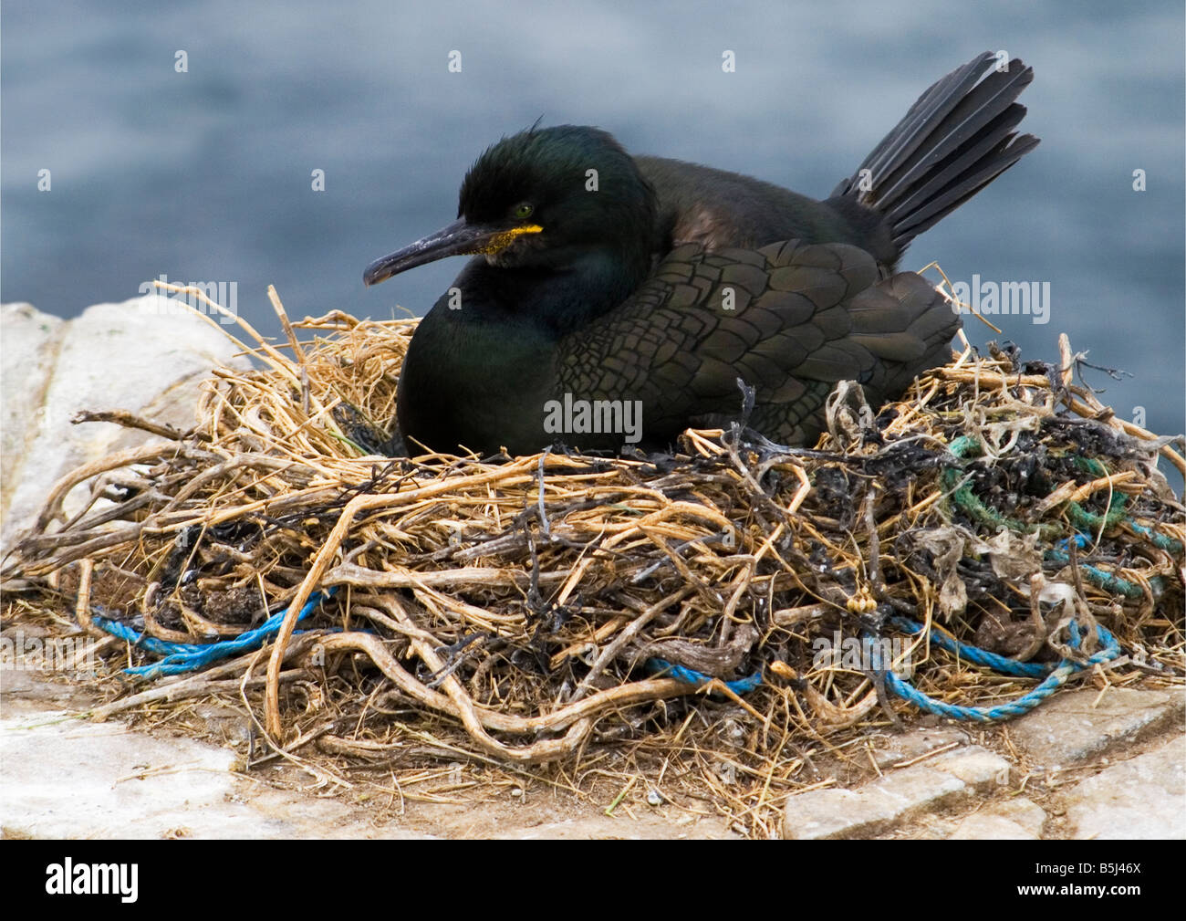 Shag (Phalacrocorax Aristotelis) - Farne Islands. The nest contains plastic and rope which could strangle or choke - Stock Image