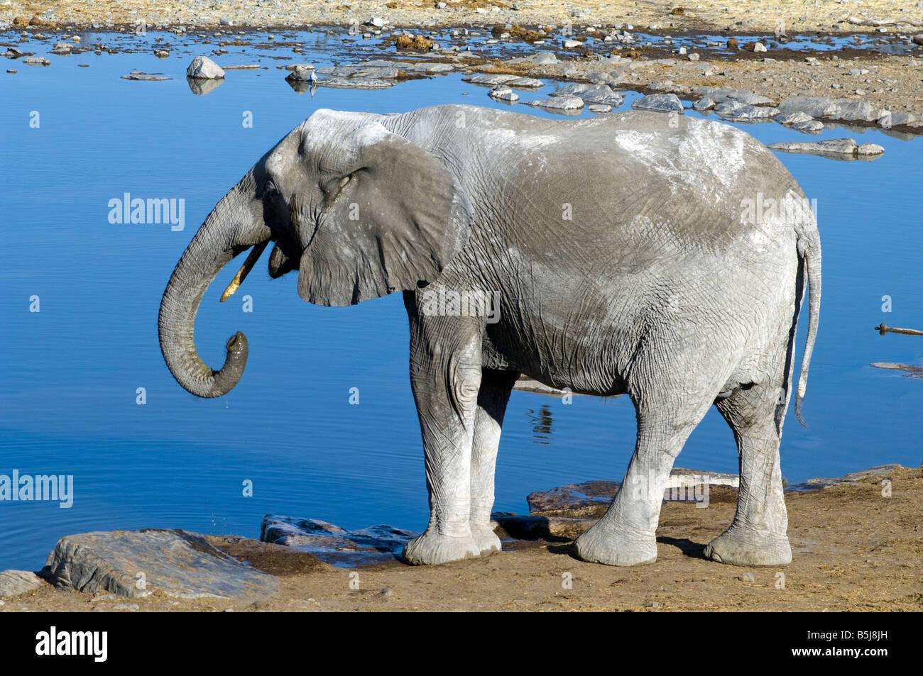 African elephant Loxodonta africana drinking at Halali waterhole Etosha National Park Namibia - Stock Image