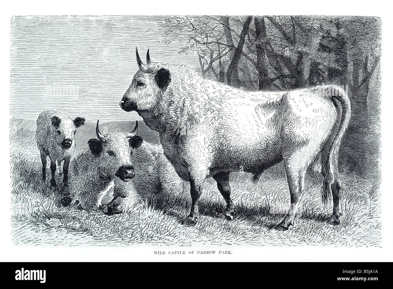 Ancient White Park cadzow cattle - Stock Image