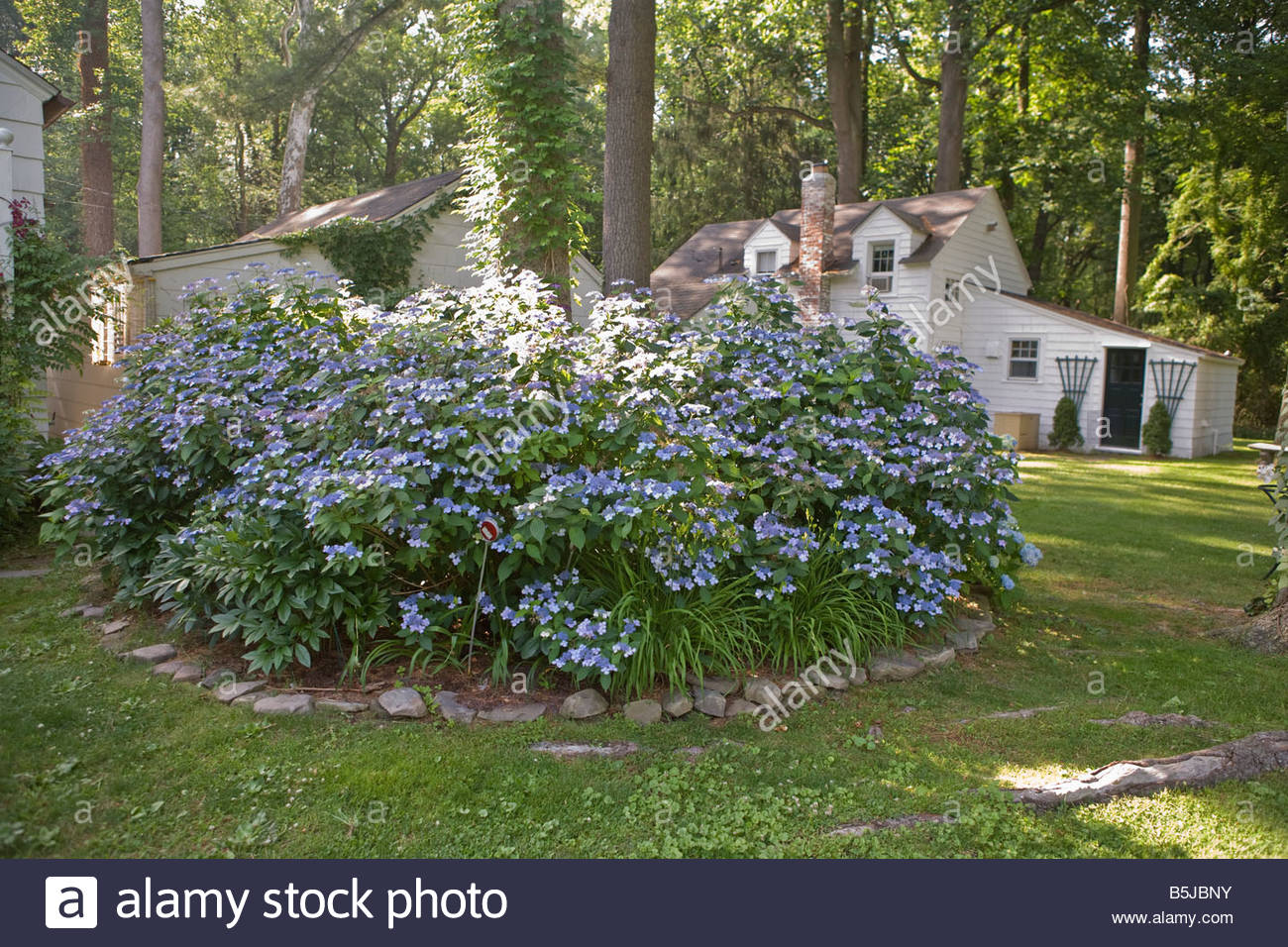 Blue flowering bush stock photos blue flowering bush stock images large blue flowering bush and out buildings stock image izmirmasajfo