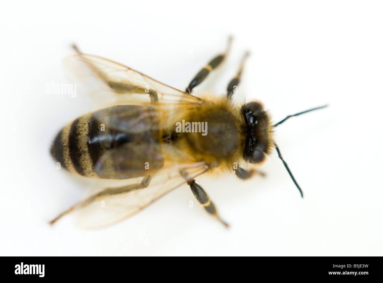 Honeybee Apis mellifera - Stock Image