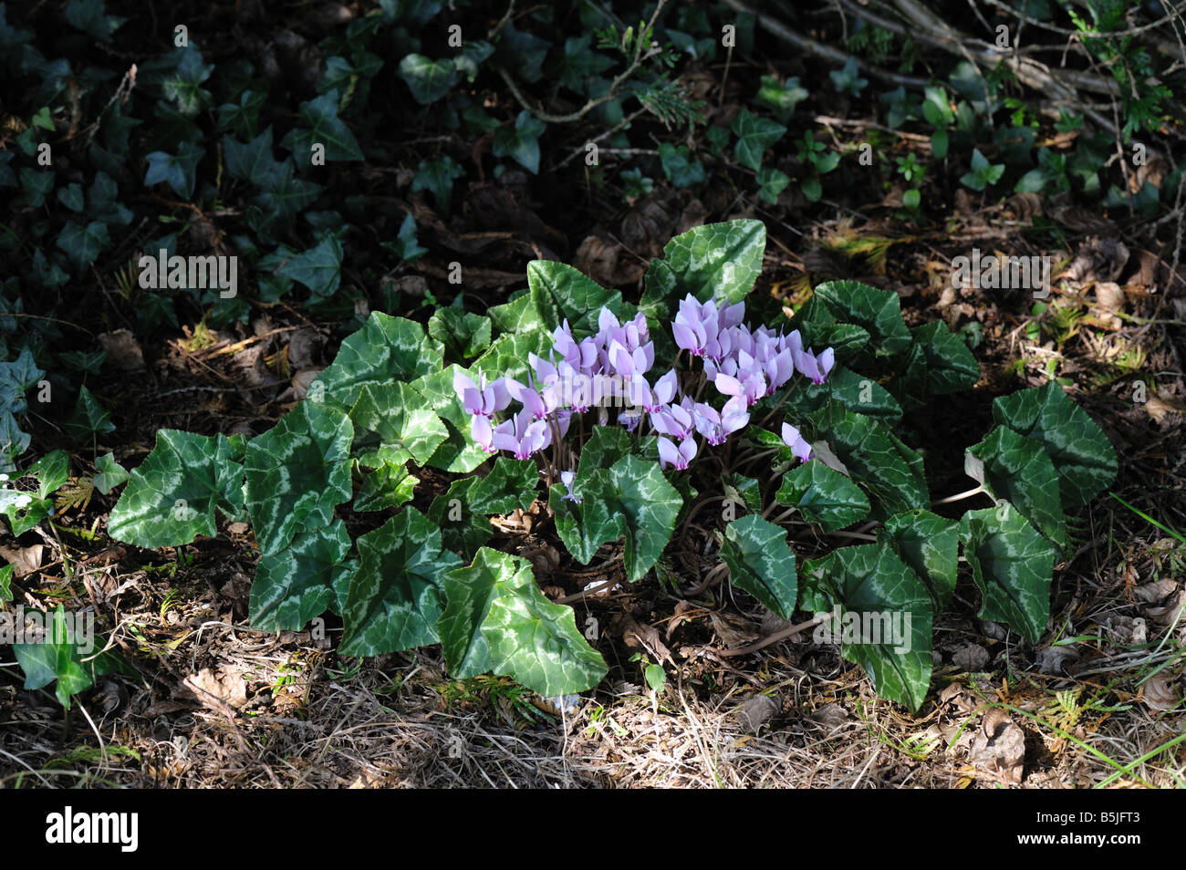 Ivy leaved cyclamen or sowbread Cyclamen hederifolium flowering in heavy shade - Stock Image