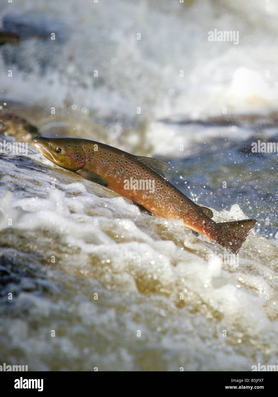 Wild salmon leaping upstream at the  Philiphaugh cauld near at Selkirk in the Scottish Borders Stock Photo