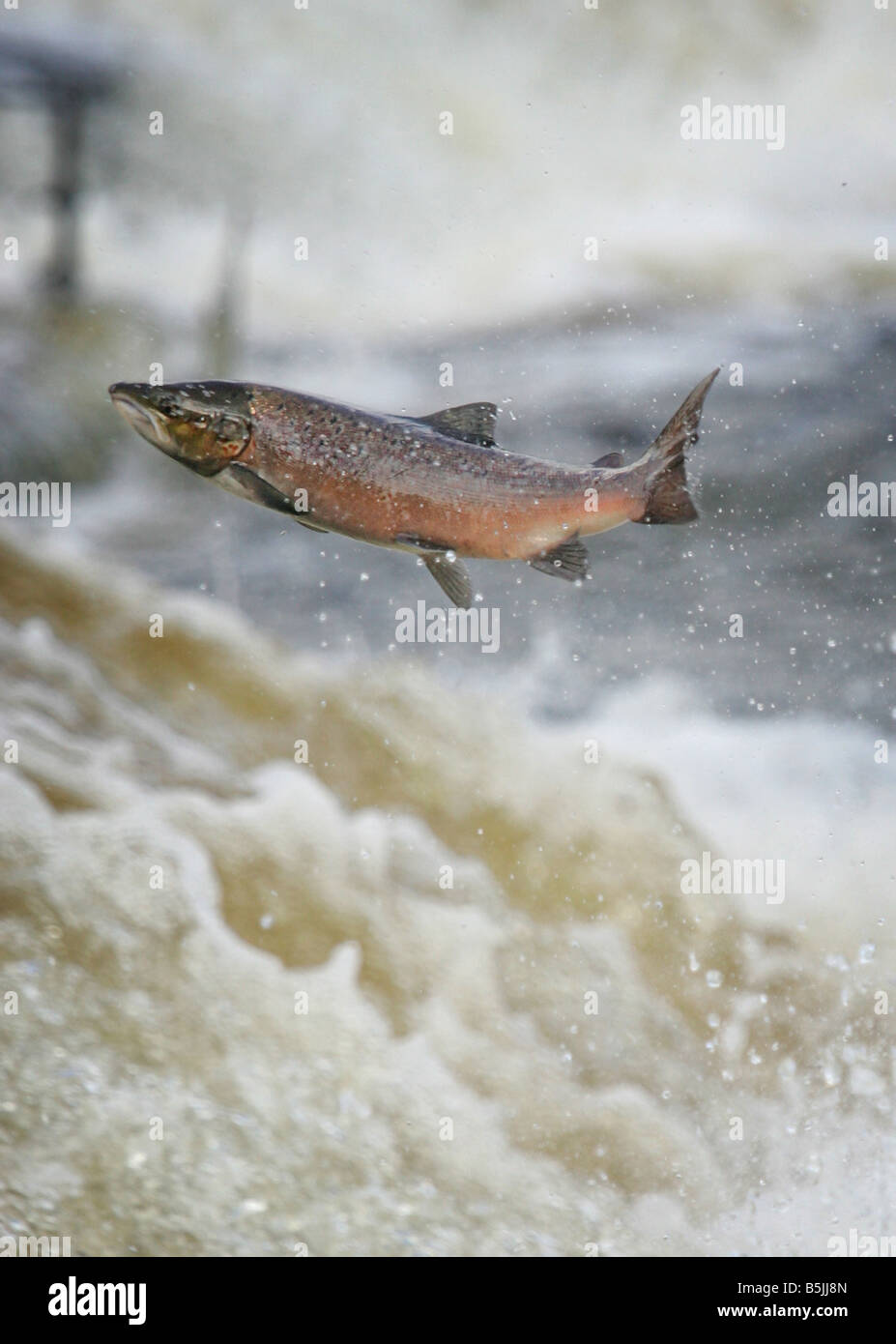 Wild salmon leaping upstream at the  Philiphaugh cauld near at Selkirk in the Scottish Borders - Stock Image